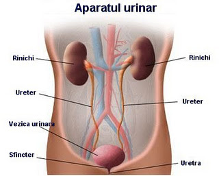 aparatul urinar